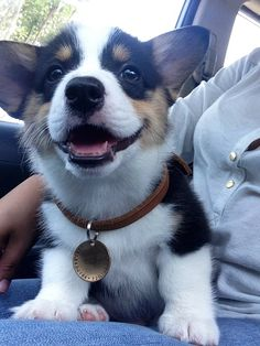 The color I want my next corgi to be .. so cute!!