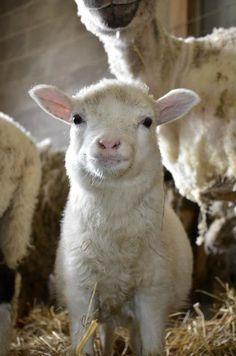 Farm Animal Sanctuary rescue...so sweet