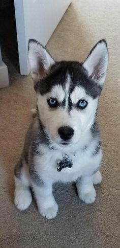 Wonderful All About The Siberian Husky Ideas. Prodigious All About The Siberian Husky Ideas. Husky With Blue Eyes, Puppies With Blue Eyes, Cute Husky Puppies, Rottweiler Puppies, Pyrenees Puppies, Huskies Puppies, White Husky Puppy, Black Husky, Puppy Husky