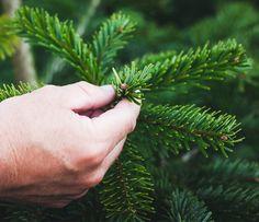 Alle Weihnachtsbäume von Meine Tanne werden sorgfältig ausgewählt. Nur Tannen bester Qualität können ein Weihnachtsbaum bei Meine Tanne werden.
