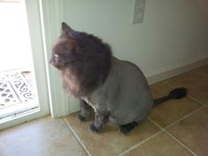 My Jay Jay cat with a lion cut. Long grey hair that was matted difficult for him to clean in his old age.