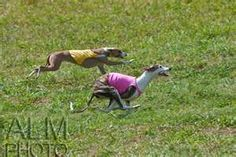 whippets doing butt tuck zoomies Companion Dog, Rhodesian Ridgeback, Whippets, Italian Greyhound, Beast, Cute Animals, Horses, Greyhounds, Dogs