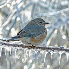 ❥ beautiful blue bird on iced branch
