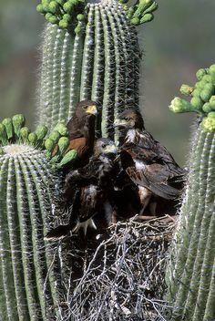 Harris Hawk fledglings with Adult in nest in Saguaro; Sonoran Desert, Arizona