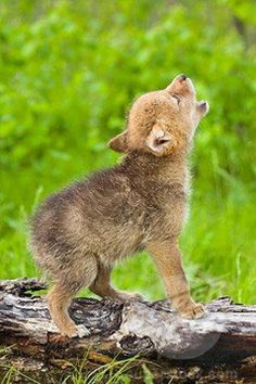 Cute baby wolf shouting loudly
