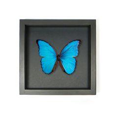 Mounted butterfly didius in elegant frame 25 x 25 cm