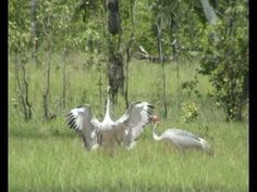 a couple of brolga are dancing in a flood plain near batchelor northern territory australia Expressive Art, Teaching Music, Dancing, Composition, Australia, Horses, Couple, Animals, Music Lessons
