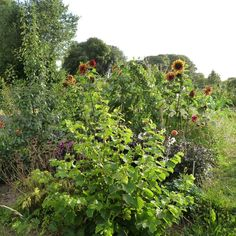 4 August 2015: Evening at the allotments. A perfect place to be.