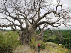 The largest living organisms on the planet, the big, old trees that harbour and sustain countless birds and other wildlife, are dying.  Baobab trees, like this giant in Tanzania, are under threat from land clearing, droughts, fungal pathogens, and overharvesting of their bark for matweaving by local villagers.