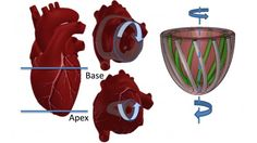 Illustrations of a human heart doing the left ventricular twist (left), and the Harvard mo...