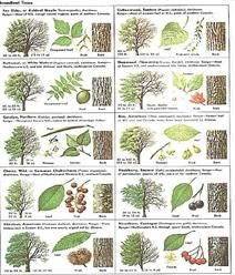 How Can Leaves Identify A Tree - Phenology - Science with Grambo----- Their sugar maple looks an awful lot like a Norway Maple - not so good for maple sugar. Trees And Shrubs, Trees To Plant, Garden Trees, Garden Plants, Tree Leaf Identification, Hickory Tree, Flora Und Fauna, Baumgarten, Tree Leaves