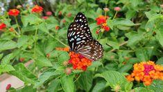 Butterfly Video, Butterfly On Flower, Flower Art, Most Beautiful Butterfly, Beautiful Bugs, Big Flowers, Wedding Flowers, Butterfly Migration, Nature Gif