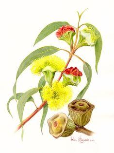 E erythrocorys 410 | Helen Fitzgerald - Botanical & Wildlife artist | Helen Fitzgerald
