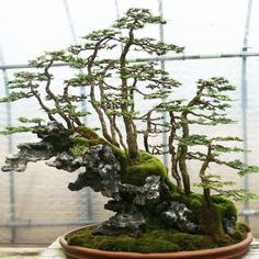 Bonsai… Oscar J. : Forest style meets growing on rock style - a wonderful Bonsai landscape. Indoor Bonsai, Bonsai Plants, Bonsai Garden, Pine Bonsai, Juniper Bonsai, Succulents Garden, Air Plants, Cactus Plants, Ikebana
