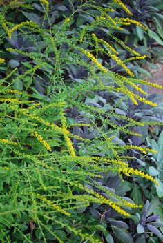 Solidago Fireworks lights up an autumn garden