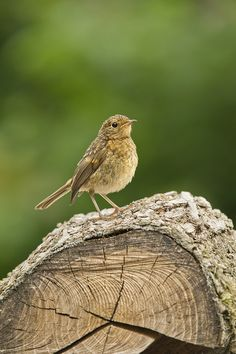Young Robin on a log by Geoffrey Baker on 500px