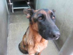 NEEDS MORE ATTEN ON F/B    ROCKY (A1286558)  NEUTERED MALE , TAN AND BLACK GERM SHEPHERD, Age: 2 YEARS , Additional Info: TEMPERMENT ISSUES Intake Condition: APC  This animal has been at the shelter since 11/11/2013. Review Date: 11/19/2013 OC ANIMAL CARE, 561 The City Drive South, Orange, CA 92868, 714-935-6848  https://www.facebook.com/photo.php?fbid=10153480691405223&set=a.10153480691390223.1073741924.315830505222&type=3&theater