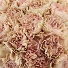 For a vintage inspired look, choose Dusty Pink Carnation Flowers to complete your ultimate bridal vision! The creamy antique pink blooms unfurl out to rich layers of romantic petals for the perfect focal flower for bridesmaids and table arrangements. Pair with romantic FiftyFlowers blooms like hypericum berries, astilbe, cream spray roses, and sprigs of seeded eucalyptus for a timelessly cherished vision! Offered in a pack of 150 stems.