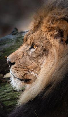Las Mejores 170 Ideas De Leon Salvaje Leon Salvaje Felinos Animales Salvajes