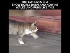 This cat lives in a show horse barn and now he walks and runs  like the horse's do..This wins first place with me in the cuteness category..