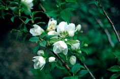 Compact mock orange, very fragrant