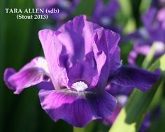Iris TARA ALLEN – Stout Gardens at Dancingtree