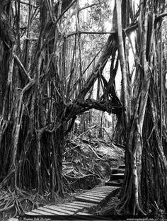 Rainforest Walkway in B&W