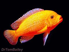 The red zebra is a solid red mbuna cichlid found in Lake Malawi. The red zebra cichlid is quite active and will be aggressive with other species so zebra cichlids should not be kept with peaceful species such as kribensis cichlids. Cichlid Aquarium, Cichlid Fish, Live Freshwater Fish, Freshwater Aquarium, Malawi Cichlids, African Cichlids, Colorful Fish, Tropical Fish, Goldfish For Sale