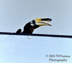 Anthracoceros Albirostris by Welbis Pestana on My Animal, Birds, Animals, Animales, Animaux, Bird, Animal Memes, Animal, Animais
