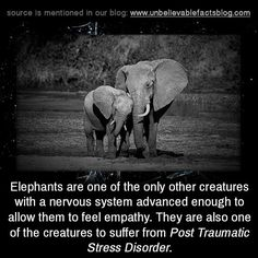 "unbelievable-facts: ""Elephants are one of the only other creatures with a nervous system advanced enough to allow them to feel empathy. They are also one of the creatures to suffer from Post Traumatic Stress Disorder "" Elephant Quotes, Elephant Facts, Elephant Love, Elephant Spirit Animal, Giraffe, Cute Baby Animals, Animals And Pets, Funny Animals, Animals Photos"