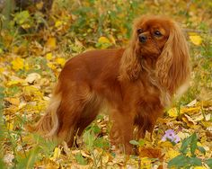 beautiful Ruby Cavalier King Charles Spaniel