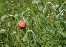 Kuvia neljästä vuodenajasta: Kesä on täällä Strawberry, Strawberry Fruit, Strawberries, Strawberry Plant
