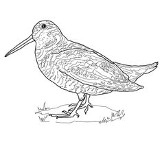American Robin Coloring page Burgess Bird Book Pinterest