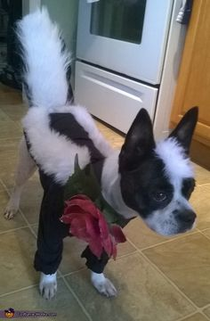 Mallory: Cassi my Boston Terrier Mix is wearing a handmade Skunk costume. I made it from a baby onesie, white fuzzy fabric, and the tail is fabricated from a pre-made skunk...