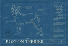BOSTON TERRIER web version