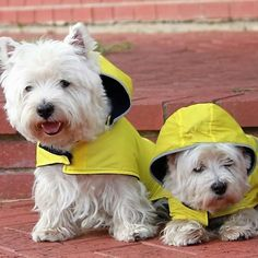 These Westies are ready for any weather ☀⛅☁ Photo by Susanne Kean.