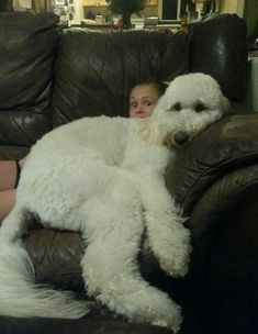 Labradoodles are lap dogs, too.