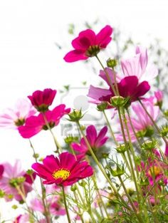 flor rosa cosmos Foto de archivo - 9009474