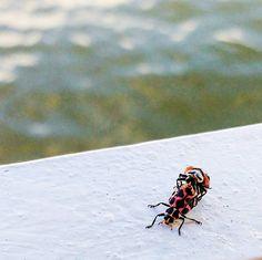 EXPLÍCITO   EXPLICIT  Vida e Morte Joaninha  #joaninha #ladybug #bug #insect #inseto #macro #sex #wild #babys #facasexocomprotrecao #alter #pontadomureta #barco #zoom #motog3 #two #casal #couple #love #amor #casal