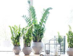 Zamioculcas (Zamioculcas zamiifolia) ist eine genügsame Zimmerpflanze für nicht zu sonnige Fensterbänke