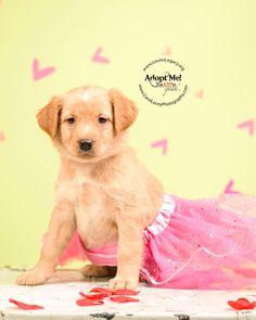 Meet Emerald, an adoptable Golden Retriever looking for a forever home. If you're looking for a new pet to adopt or want information on how to get involved with adoptable pets, Petfinder.com is a great resource.