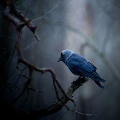 bird 小 Jackdaw, Jyrki Salmi Ravenclaw, Love Birds, Beautiful Birds, Beautiful Things, Eagles, Jackdaw, Rabe, Bird Watching, Bird Feathers