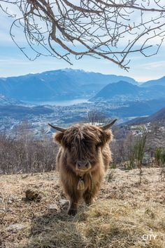 Arosio Malcantone Highland Cows