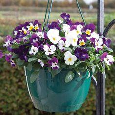 Viola Ochre (Autumn) 2 Pre-Planted Hanging Baskets