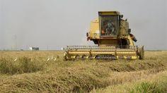 Precios del arroz han subido entre 30% y 35%: Fedearroz