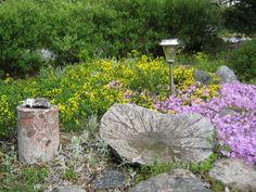 Suikerovihma ja sammalleimu kukkivat kivikkoryhmässä.