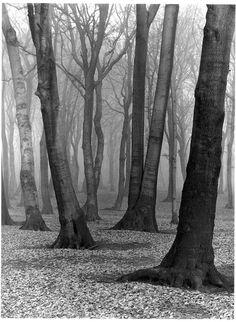 Beech Wood, 1936, Albert Renger-Patzsch