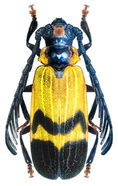 Ucai nascimentoi Ucai is a genus of beetles in the longhorn beetle family, Cerambycidae