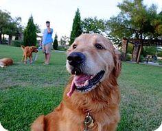 Los Angeles, CA - Golden Retriever. Meet Koen, a dog for adoption. http://www.adoptapet.com/pet/13880921-los-angeles-california-golden-retriever