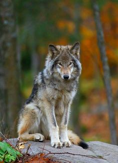 'Timber Wolf' Photographic Print by Jim Cumming – Monkey Stuffed Animal Wolf Photos, Wolf Pictures, Wildlife Photography, Animal Photography, Baby Huskys, Animals And Pets, Cute Animals, Wild Animals, Baby Animals